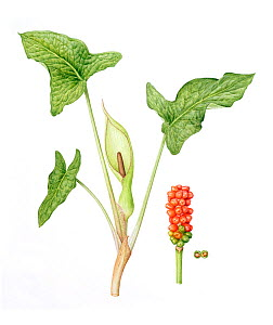 Lords-and-ladies (Arum maculatum), stem with flowers on inflorescence (spadix), and stem with berries. Watercolour illustration.  -  Linda Pitkin