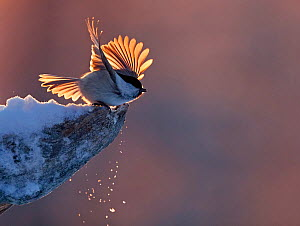 Willow tit (Parus montanus) taking off from snowy snag, Kuusamo, Finland December  -  Markus Varesvuo