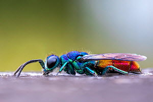 Ruby tailed wasp (Chrysis ignita). Skipwith Common, Yorkshire, England, UK, June. Focus stacked image.  -  Oliver Wright