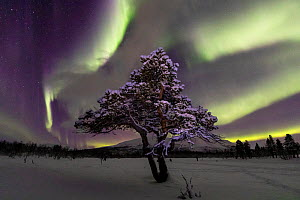 Aurora over lone pine tree in Abisko National Park, Abisko, North Sweden. February 2020.  -  Oliver Wright