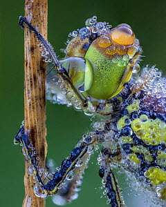 Common darter (Sympetrum striolatum) covered in morning dew Ledston, Leeds, Yorkshire, England, UK, August. Focus stacked image.  -  Oliver Wright