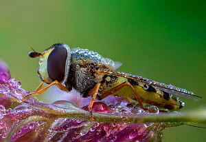 Hoverfly (Eupeodes sp). Great Preston, Leeds, Yorkshire, England, UK, June. Focus stacked image.  -  Oliver Wright