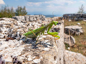 Praying mantis (Mantis religiosa) female adult over one of the giant blocks of a ruined wall. Cesi near Terni on the stones of a pre-Roman site, Umbria, Italy, September.  -  Paul  Harcourt Davies