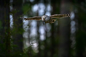 Ural owl (Strix uralensis) female flying in evening forest with rodent prey, Tartumaa county, Southern Estonia,  -  Sven Zacek