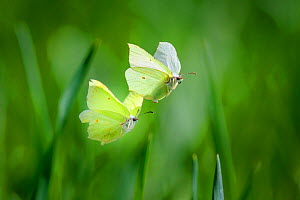 Brimstone butterfly(Gonepteryx rhamni) male and female during mating flight, early spring. Tartumaa county, Southern Estonia. May.  -  Sven Zacek