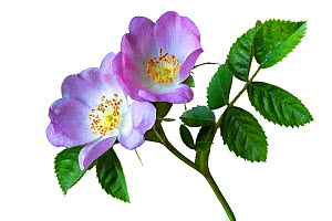 Wild rose / Sweet briar (Rosa rubiginosa) flowers and leaves, against white background. Herefordshire, England, UK. Focus stacked.  -  Will Watson