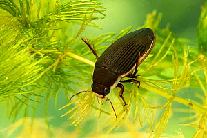 Black-bellied great diving beetle (Dytiscus semisulcatus) female, Breconshire, Wales, UK. Controlled conditions. Focus stacked  -  Will Watson
