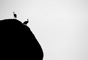 Two Peafowl (Pavo cristatus) silhouetted, India.  -  Yashpal Rathore