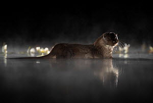 European river otter (Lutra lutra) in mist reflected in water at night. Lincolnshire, UK, September.  -  Danny Green