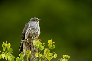 Cuckoo (Cuculus canorus) perched on a post. Thursley Common, Surrey, UK, May.  -  Danny Green