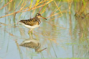 Greater painted-snipe (Rostratula benghalensis) male reflected in water. Savuti, Chobe National Park, Botswana.  -  Guy Edwardes
