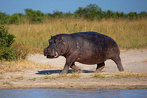 Hippopotamus (Hippopotamus amphibius) walking along bank of Chobe River. Chobe National Park, Botswana.  -  Guy Edwardes