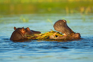 Hippopotamus (Hippopotamus amphibius), two feeding in Chobe River. Chobe National Park, Botswana.  -  Guy Edwardes