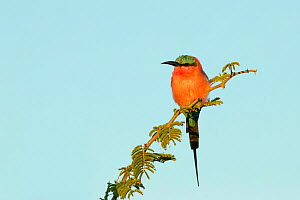 Southern carmine bee-eater (Merops nubicoides) perched on branch. Chobe National Park, Botswana.  -  Guy Edwardes