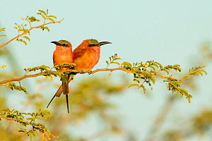Southern carmine bee-eater (Merops nubicoides) pair perched on branch, looking in opposite directions. Chobe National Park, Botswana.  -  Guy Edwardes