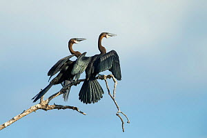 African darter (Anhinga rufa) pair in courtship, looking in same direction with open beaks. Chobe River, Chobe National Park, Botswana.  -  Guy Edwardes