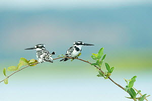 Pied kingfisher (Ceryle rudis) pair perched on branch, looking in opposite directions. Chobe River, Chobe National Park, Botswana.  -  Guy Edwardes