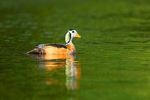 African pygmy goose (Nettapus auritus) male on Chobe River, reflected in water. Chobe National Park, Botswana.  -  Guy Edwardes