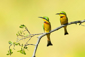 Little bee-eater (Merops pusillus) pair perched on branch, looking in same direction. Savuti, Chobe National Park, Botswana.  -  Guy Edwardes