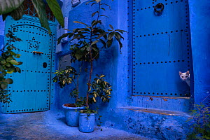 A white cat peeks out a blue door. Chefchaouen, Morocco.  -  Karine Aigner