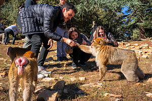 Tourists feed Barbary macaques (Macaca sylvanus) at the edge of the forest on the roadside outside of Azrou, Morocco.  -  Karine Aigner