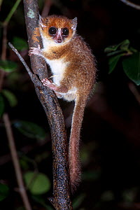 Adult brown or rufus mouse lemur (Microcebus rufus) at night. Ranomafana National Park, south east Madagascar.  -  Nick Garbutt