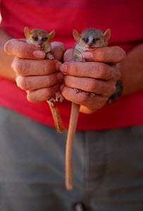 Madame Berthe's mouse lemur (Microcebus berthae) left, world's smallest primate, and Grey mouse lemur (Microcebus murinus) right, held in hand for comparison. Kirindy forest, western Madagasca...  -  Nick Garbutt