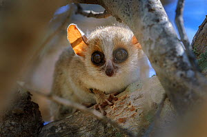 Grey-brown mouse lemur (Microcebus griseorufus). Ifaty spiny forest, south western Madagascar.  -  Nick Garbutt