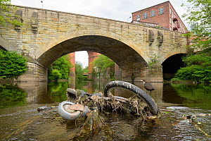 Dipper (Cinclus cinclus) perched on bicycle wheel dumped in river. Manchester University research has found rivers flowing through Greater Manchester to have the highest levels of micro plastic contam...  -  Terry Whittaker