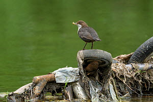 Dipper (Cinclus cinclus) with Mayflies (Ephemeroptera) for chicks in beak, perched on wheel of shopping trolley dumped in river. Research conducted by Manchester University has found rivers flowing th...  -  Terry Whittaker