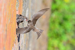 Sand martin (Riparia riparia) feeding chicks on nest in old drainage pipe along River Mersey retaining wall. Greater Manchester, England. June.  -  Terry Whittaker