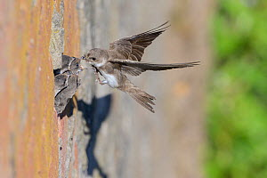 Sand martin (Riparia riparia) feeding chicks at nest in in old drainage pipe along River Mersey retaining wall. Greater Manchester, England, UK. June.  -  Terry Whittaker