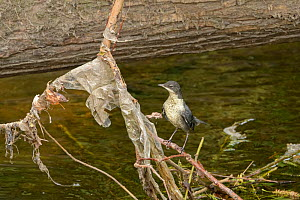 Dipper (Cinclus cinclus) chick perched on branch covered with plastic litter deposited by floodwaters. Research conducted by Manchester University has found rivers flowing through Greater Manchester t...  -  Terry Whittaker