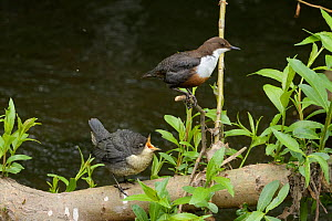Dipper (Cinclus cinclus) chick calling to adult perched above. River Mersey, Greater Manchester, England, UK. May.  -  Terry Whittaker