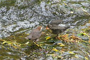 Dipper (Cinclus cinclus) feeding chick. River Mersey, Greater Manchester, England, UK. May 2019.  -  Terry Whittaker