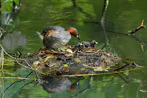 Little grebe (Tachybaptus ruficollis) and chicks on nest, one unhatched egg remaining in nest. Reddish Vale Country Park, Greater Manchester, England, UK. August.  -  Terry Whittaker