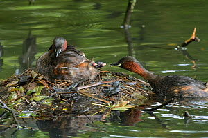 Little grebe (Tachybaptus ruficollis) family, adult feeding Stickleback to chicks on nest. Reddish Vale Country Park, Greater Manchester, England, UK. August.  -  Terry Whittaker