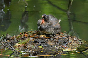 Little grebe (Tachybaptus ruficollis) carrying chick on back, one egg remaining unhatched in nest. Reddish Vale Country Park, Greater Manchester, England, UK. August.  -  Terry Whittaker