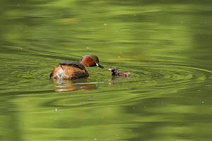 Little grebe (Tachybaptus ruficollis) feeding chick on water. Reddish Vale Country Park, Greater Manchester, England, UK. August.  -  Terry Whittaker