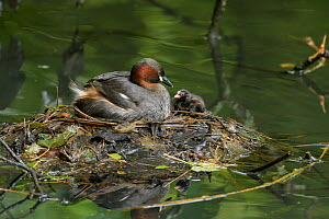 Little grebe (Tachybaptus ruficollis) with chick on nest. Reddish Vale Country Park, Greater Manchester, England, UK. August.  -  Terry Whittaker