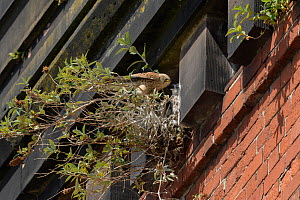 Kestrel (Falco tinnunculus) female feeding chicks at nest, amongst Buddleia on old railway viaduct. Stockport, Greater Manchester, England, UK. May.  -  Terry Whittaker