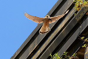 Kestrel (Falco tinnunculus) female flying back to nest with Brown rat prey in beak to feed to chicks. Nest on old railway viaduct. Stockport, Greater Manchester, England, UK. May.  -  Terry Whittaker