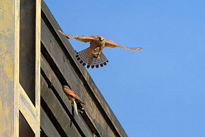 Kestrel (Falco tinnunculus) pair nesting on old railway viaduct, female flying with Vole brought in by male. Stockport, Greater Manchester, England, UK. May.  -  Terry Whittaker