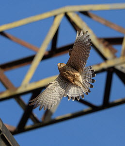 Common kestrel (Falco tinnunculus) female in flight, below electricity pylon, nesting on old railway viaduct. Stockport, Greater Manchester, England, UK. May.  -  Terry Whittaker
