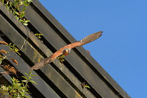 Kestrel (Falco tinnunculus) male in flight after giving Vole to female, nesting on old railway viaduct. Stockport, Greater Manchester, England, UK. May.  -  Terry Whittaker