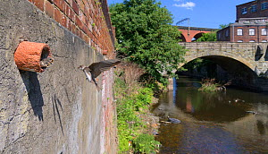 Sand martin (Riparia riparia) feeding chicks on nest in old drainage pipe along River Mersey retaining wall. Greater Manchester, England, UK. May 2020.  -  Terry Whittaker