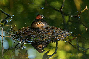 Little grebe (Tachybaptus ruficollis) brooding chicks on nest, chick peeking out from under wing. Reddish Vale Country Park, Greater Manchester, England, UK. August.  -  Terry Whittaker