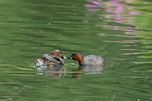 Little grebe (Tachybaptus ruficollis) chicks sheltering on one parent's back while the other feeds them. Reddish Vale Country Park, Greater Manchester, England, UK. August.  -  Terry Whittaker