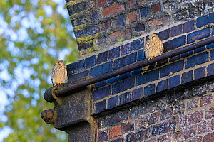 Common kestrel (Falco tinnunculus) pair perched under old railway viaduct, nest site nearby. Reddish Vale, Greater Manchester, England, UK. April.  -  Terry Whittaker