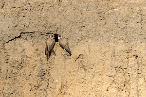 Sand martin (Riparia riparia) pair at nest hole entrance on river bank. River Tame, Reddish Vale Country Park, Greater Manchester, England, UK. April.  -  Terry Whittaker